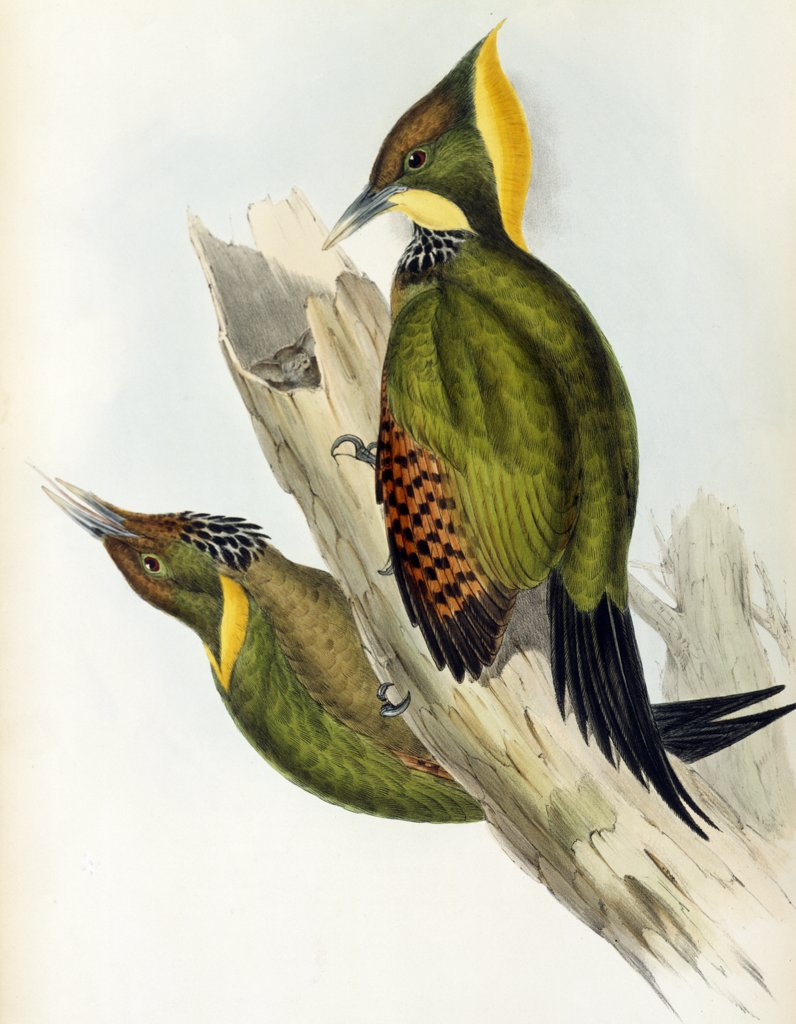 Stock Photo: 900-139712 Yellow-naped Woodpecker