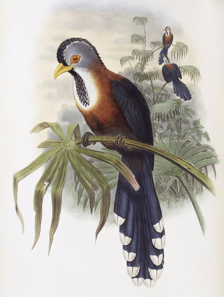 Stock Photo: 900-139713 Curled-crested Cuckoo John Gould (1804-1881 British)