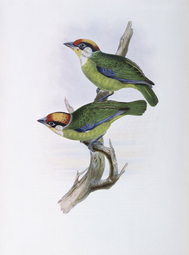 Stock Photo: 900-139714 Franklin's Barbet John Gould (1804-1881 British)