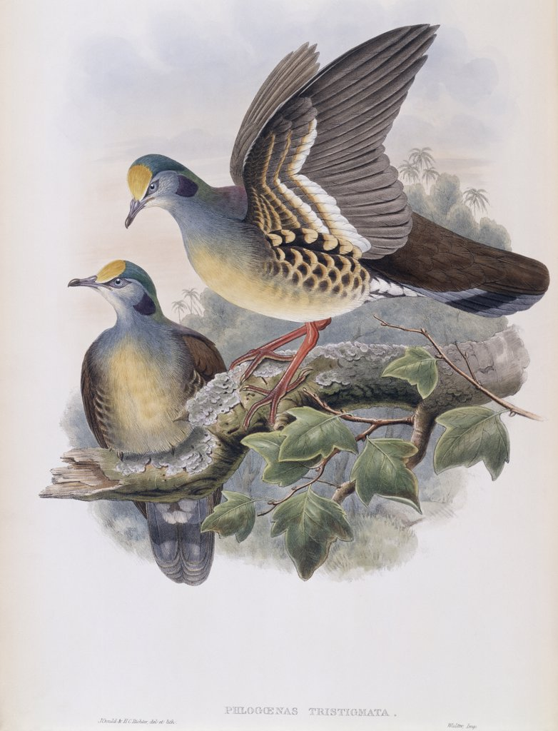 Branded Pigeon John Gould (1804-1881 British) : Stock Photo