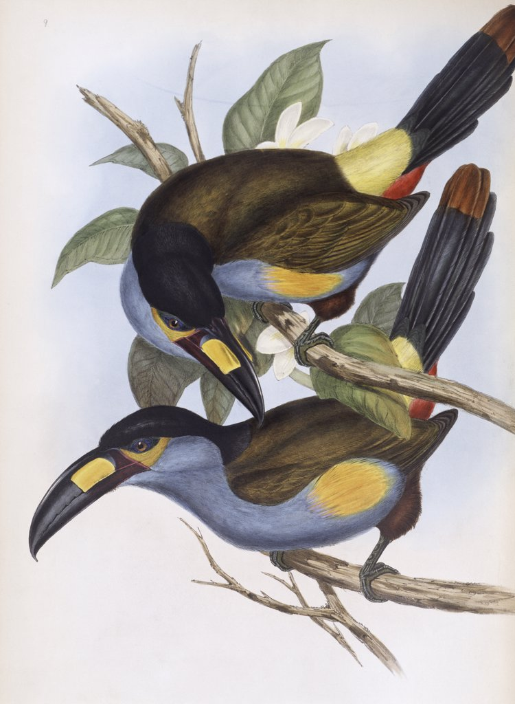 Laminated Hill Toucan John Gould (1804-1881 British) : Stock Photo