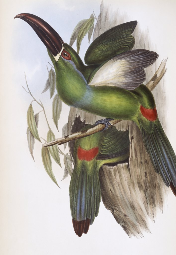 Chestnut-billed Groove-bill (Toucan) John Gould (1804-1881 British)  : Stock Photo