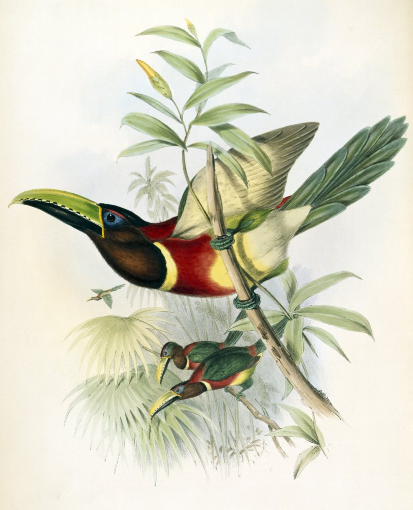 Stock Photo: 900-140737 Sturm's Aracari (Toucan)