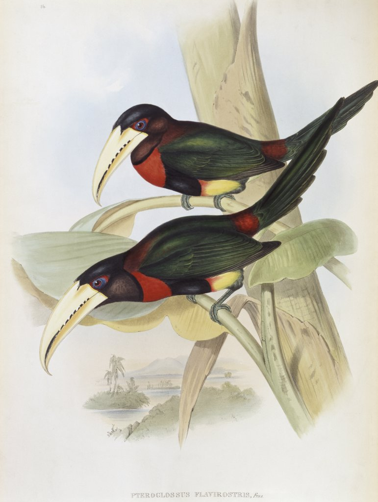 Stock Photo: 900-140738 Yellow-billed Aracari (Toucan) John Gould (1804-1881 British)