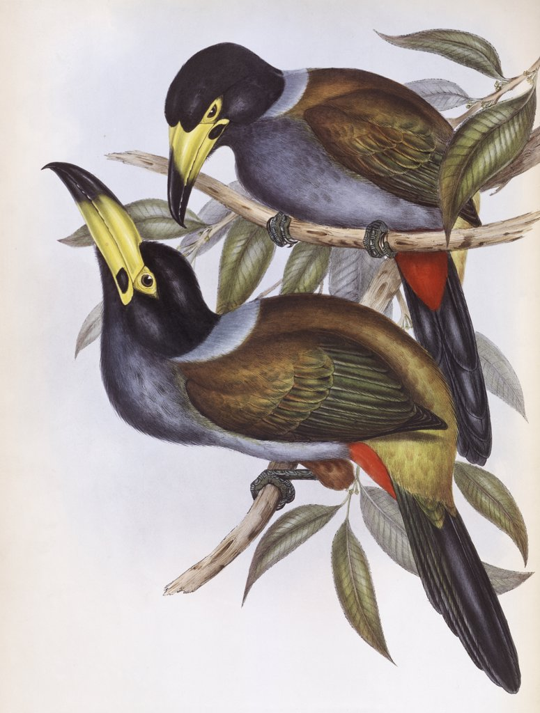Stock Photo: 900-140739 Hooded Hill Toucan John Gould (1804-1881 British)