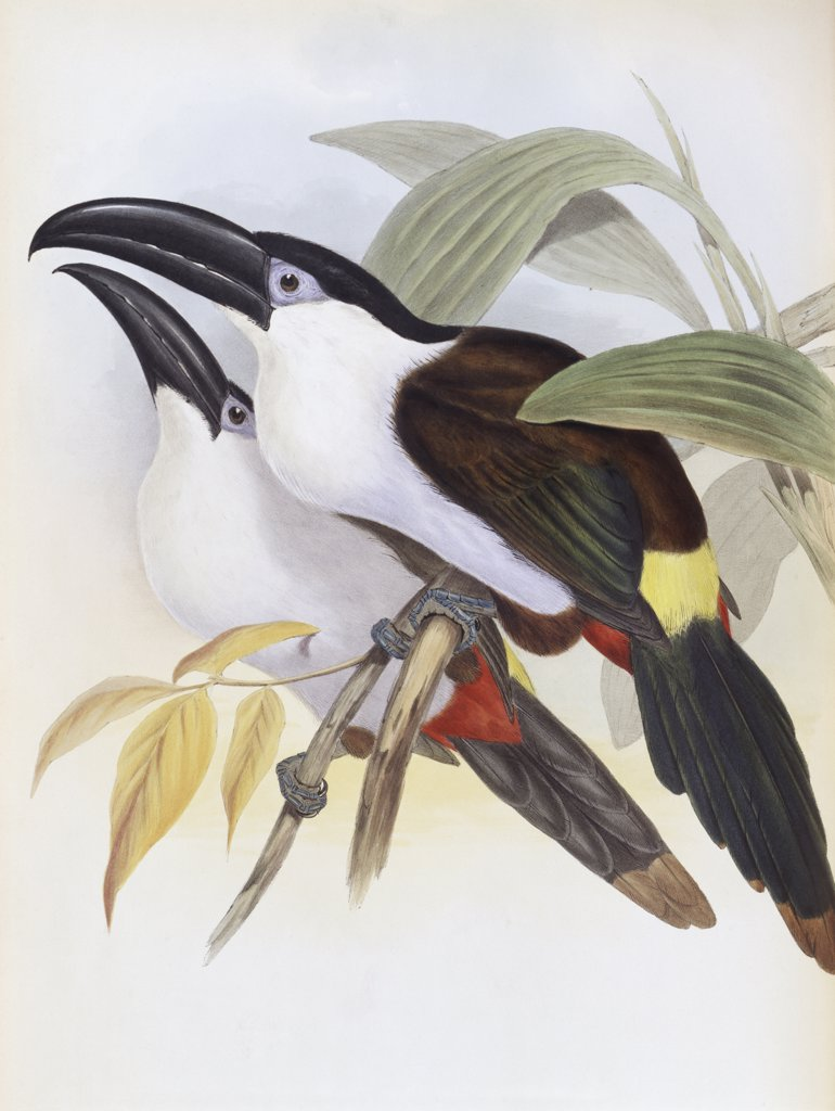 Stock Photo: 900-140740 Black-billed Hill Toucan John Gould (1804-1881 British)