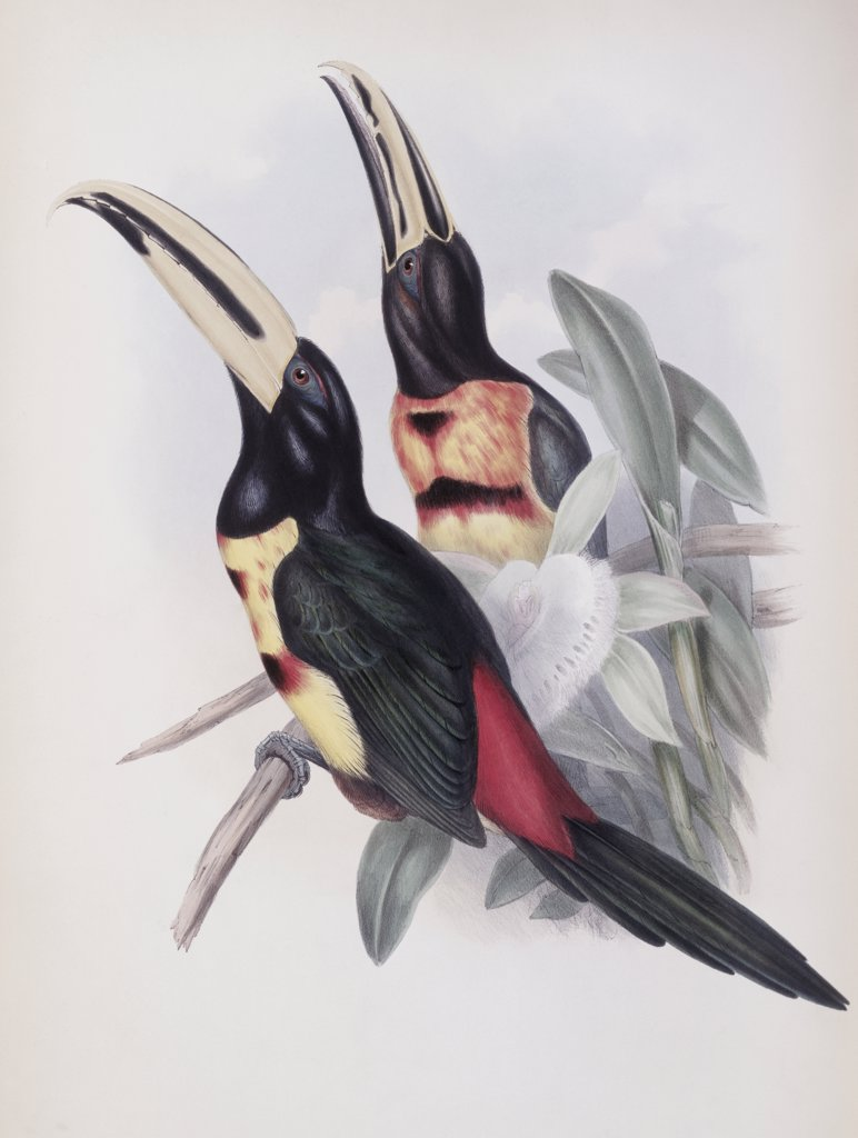 Stock Photo: 900-140741 Red-rumped Aracari (Toucan) John Gould (1804-1881 British)