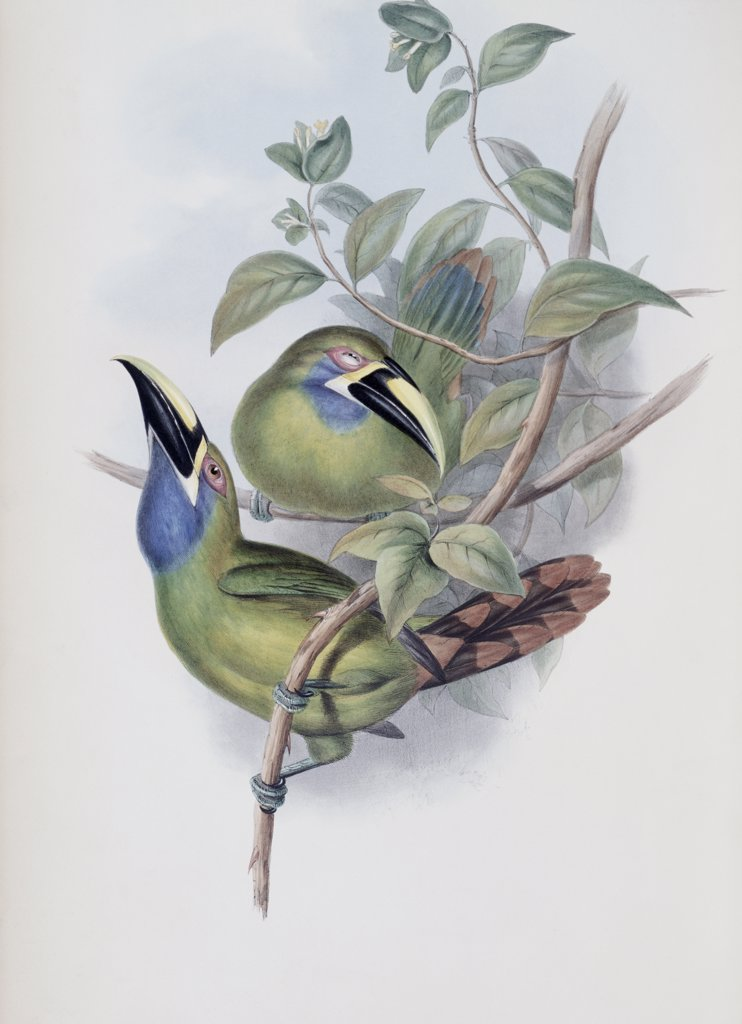 Stock Photo: 900-140743 Blue-throated Groove-bill (Toucan) John Gould (1804-1881 British)