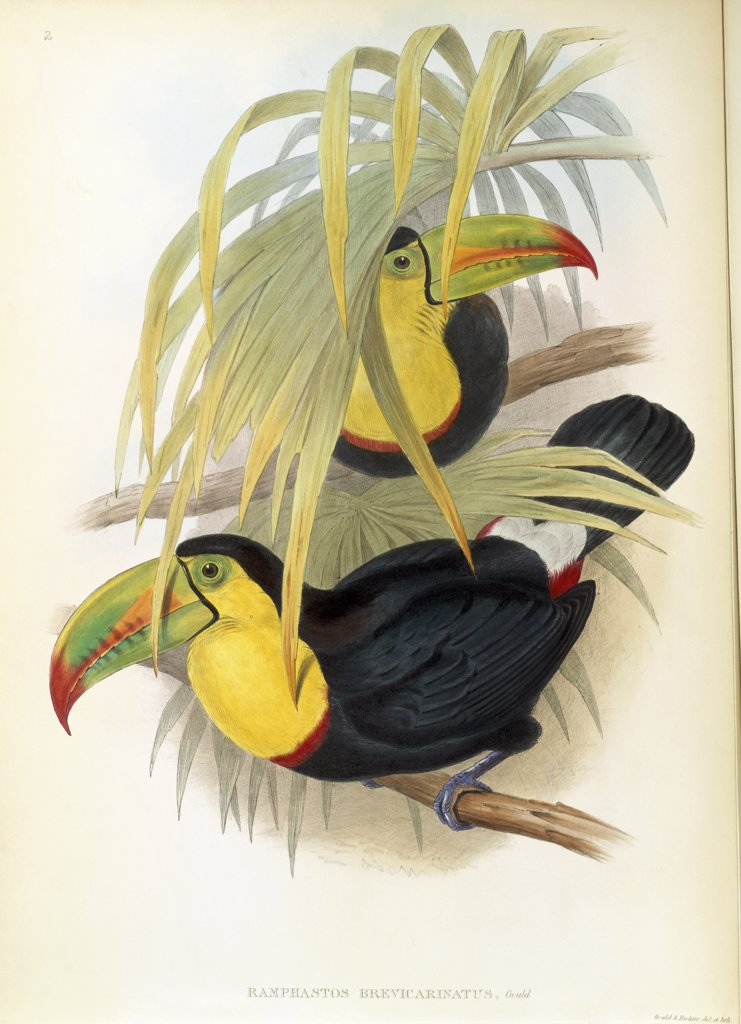 Stock Photo: 900-140744 Short-Billed Toucan