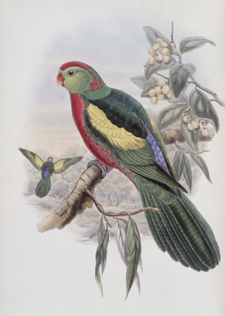 Stock Photo: 900-140745 Beautiful King Parrot John Gould (1804-1881 British)