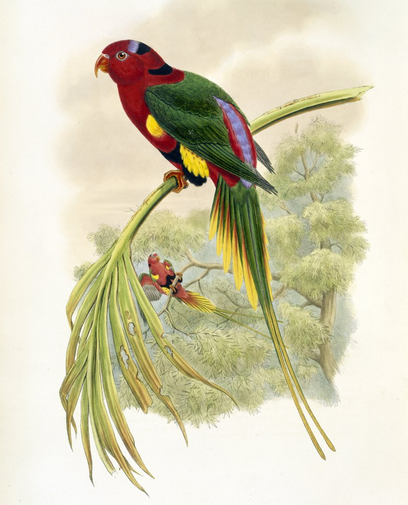 Stock Photo: 900-140746 Papuan Lorikeet