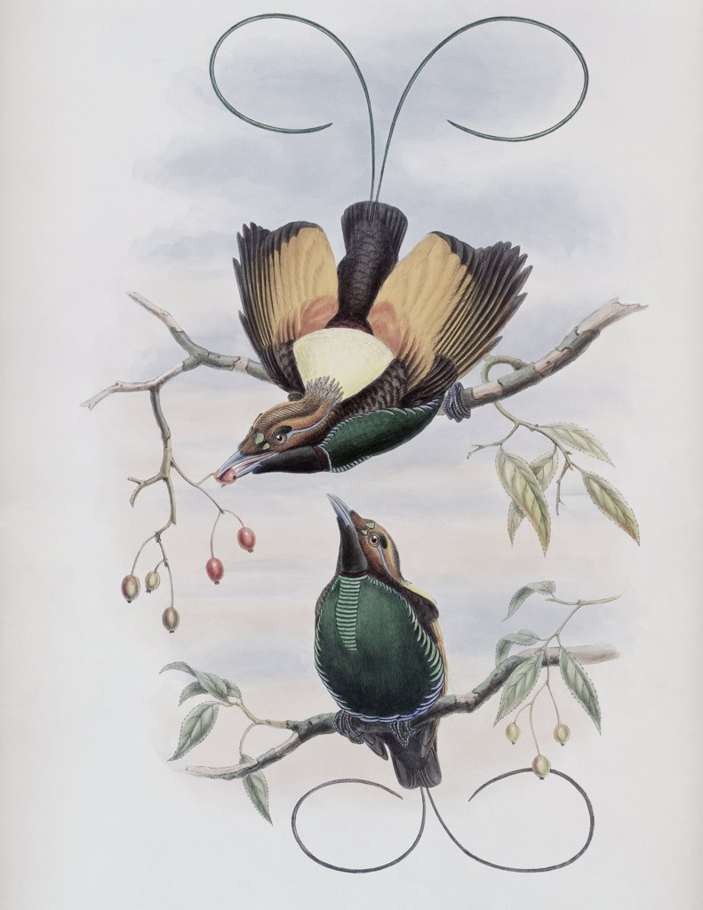 Stock Photo: 900-140747 Golden-winged Bird Of Paradise John Gould (1804-1881 British)