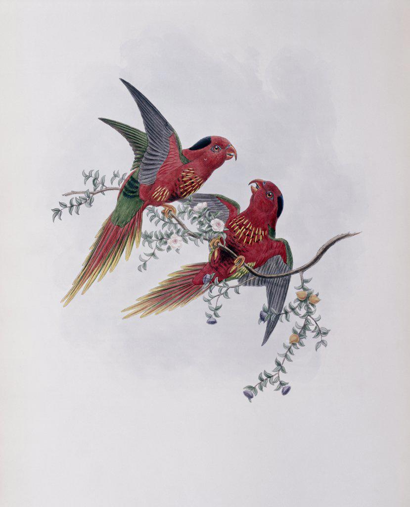 Pectoral Lorikeet John Gould (1804-1881 British) : Stock Photo