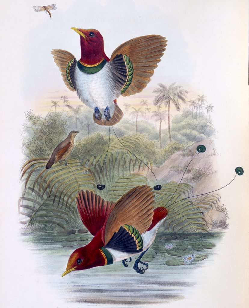 Stock Photo: 900-140749 King Bird of Paradise