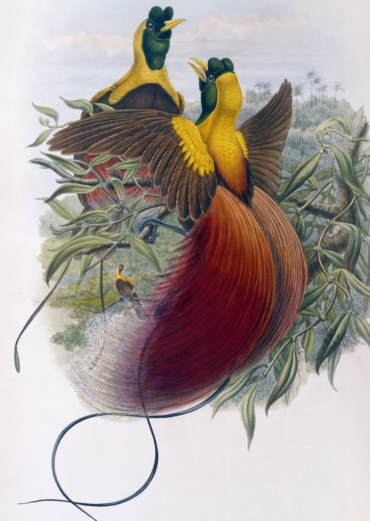 Stock Photo: 900-140750 Red Bird of Paradise
