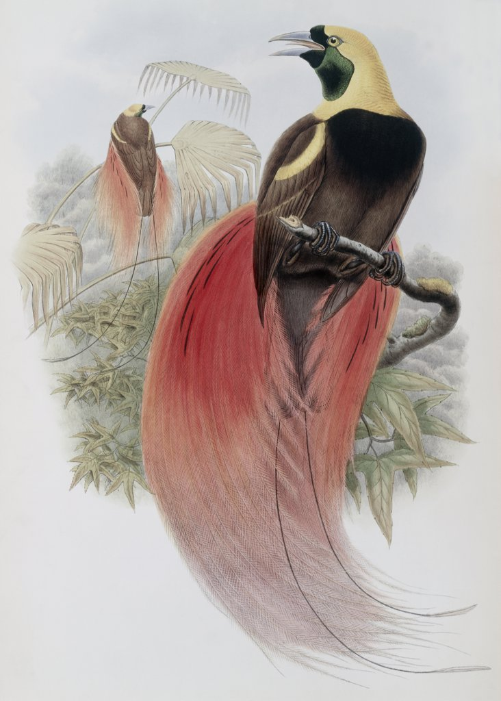 Stock Photo: 900-140751 Marquis De Raggi's Bird Of Paradise John Gould (1804-1881 British)