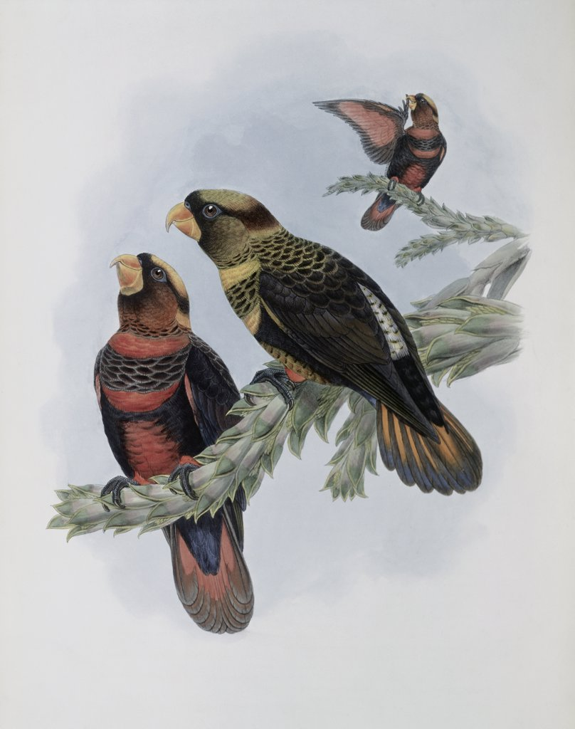 Banded Lory John Gould (1804-1881 British) : Stock Photo