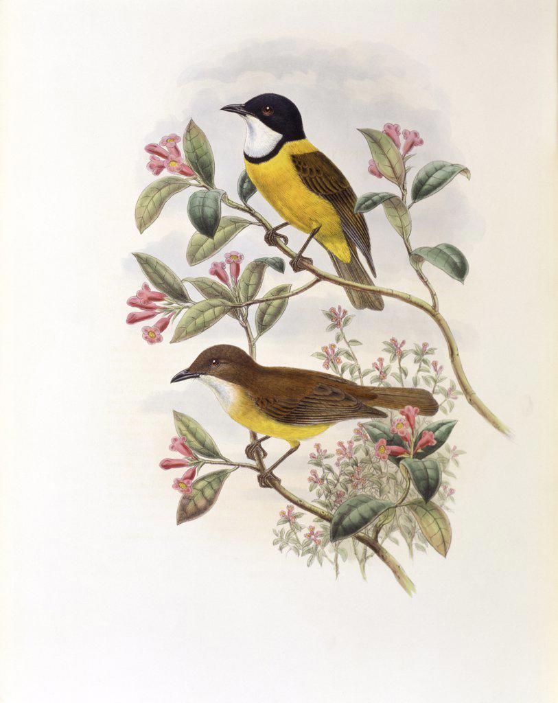 Ramsay's Thickhead John Gould (1804-1881 British) : Stock Photo
