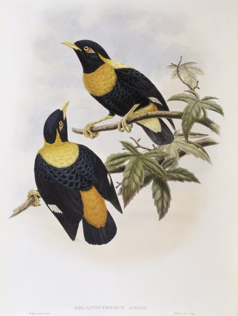 Orange-crested Starling John Gould (1804-1881 British) : Stock Photo