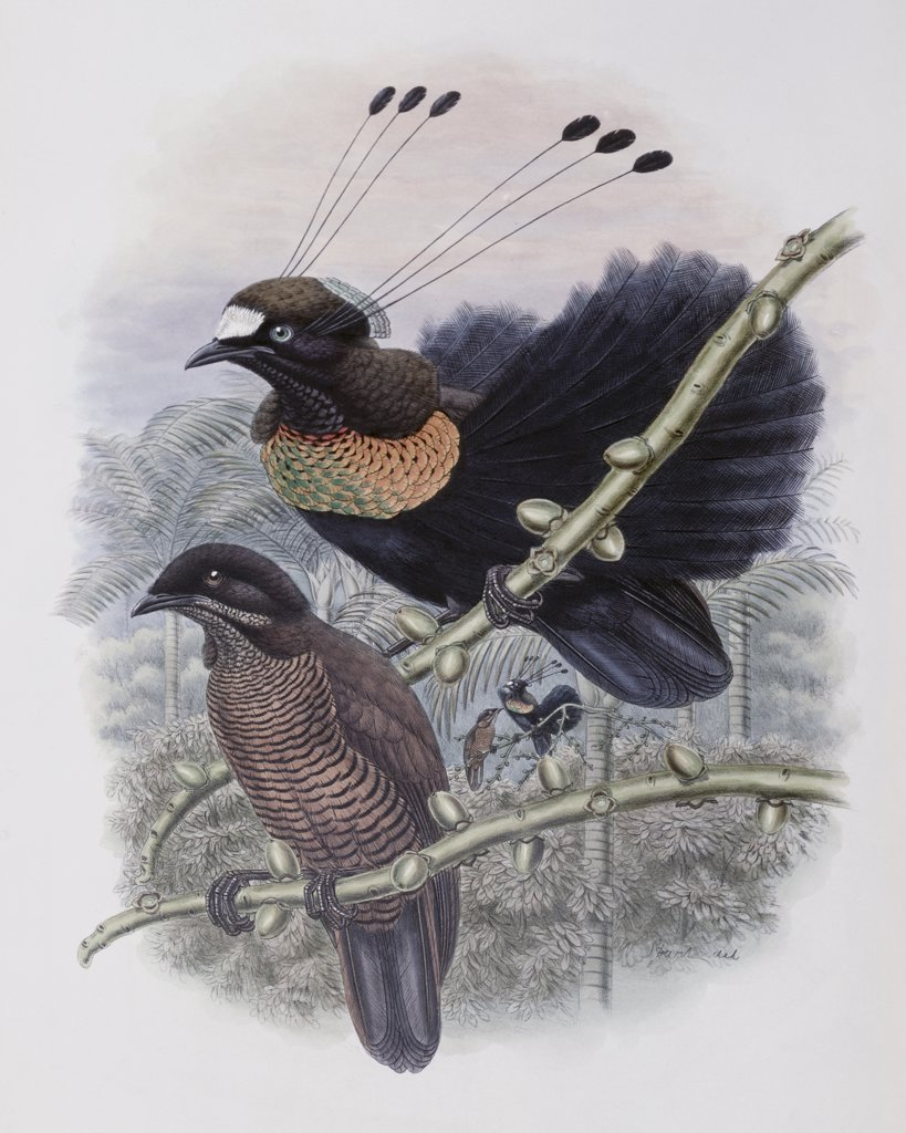 Lawe's Bird Of Paradise John Gould (1804-1881 British) : Stock Photo