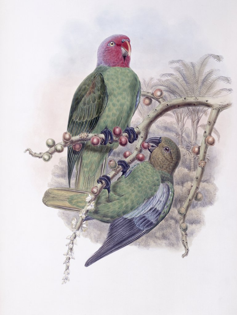 Tenimber Parrot John Gould (1804-1881 British) : Stock Photo