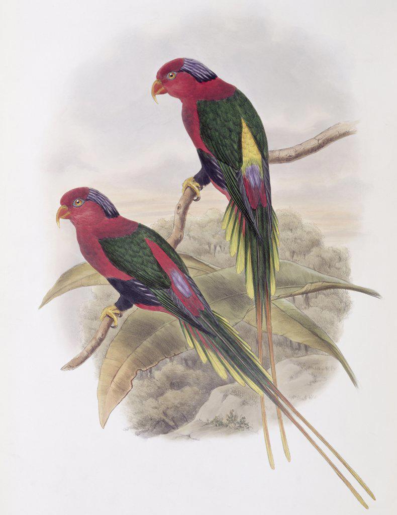 Stella Parakeet John Gould (1804-1881 British) : Stock Photo