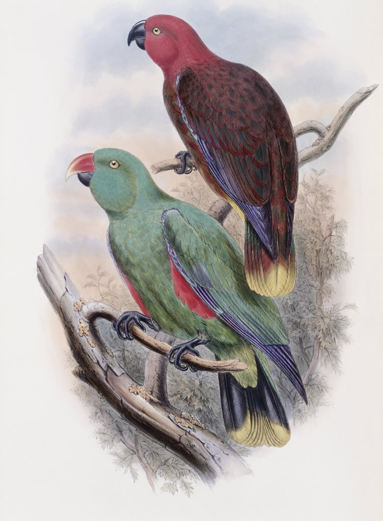 Riedel's Parrot John Gould (1804-1881 British)  : Stock Photo