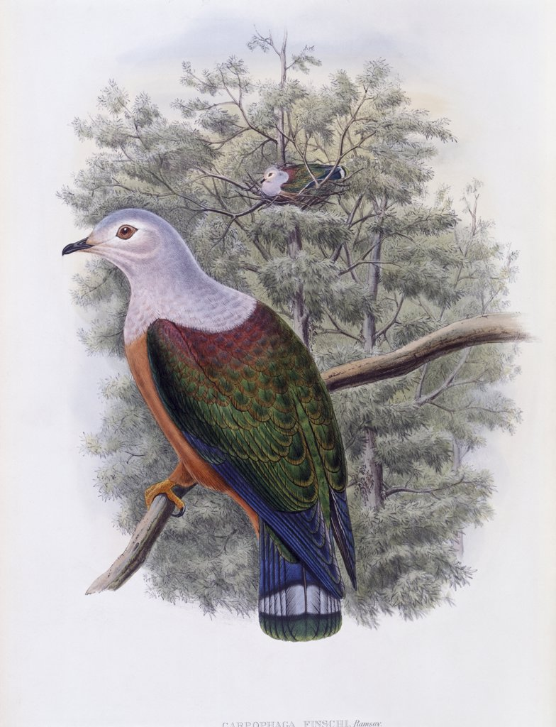 Stock Photo: 900-140765 Finsch's Fruit-Pigeon John Gould (1804-1881 British)