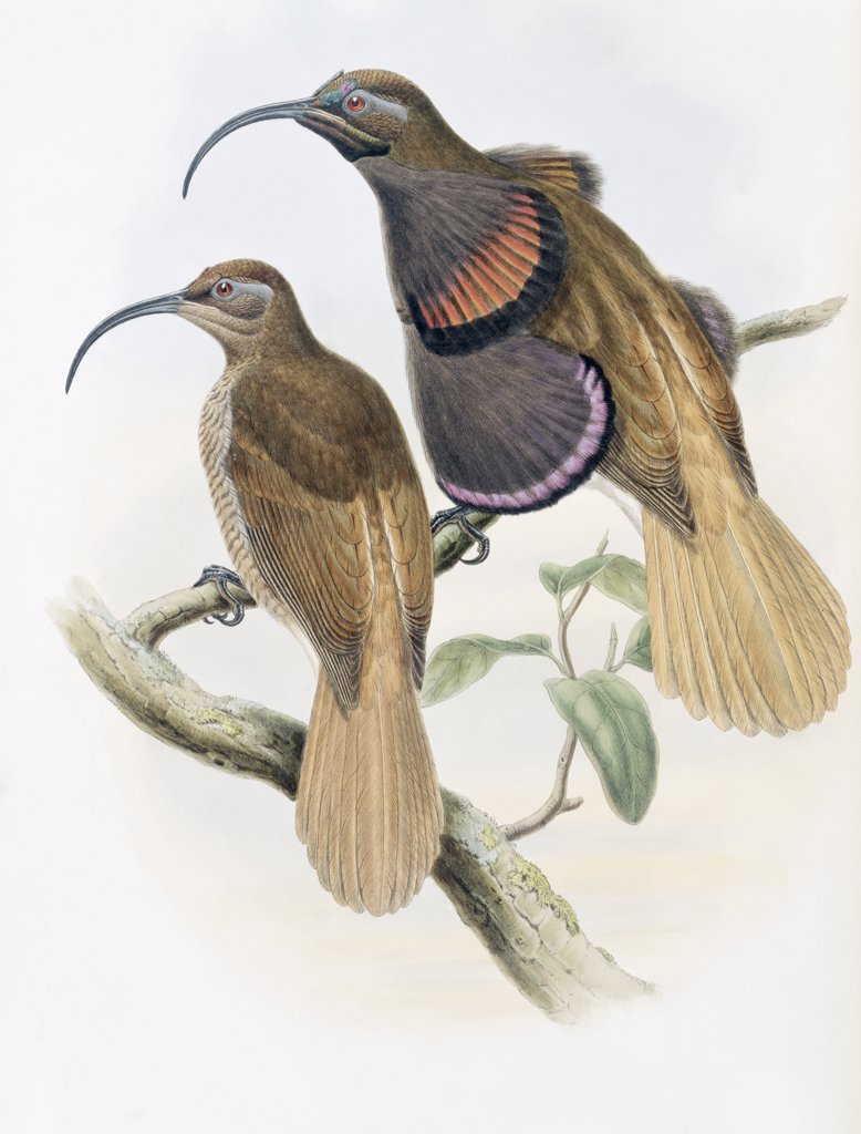 Stock Photo: 900-140766 Bennett's Bird Of Paradise John Gould (1804-1881 British)