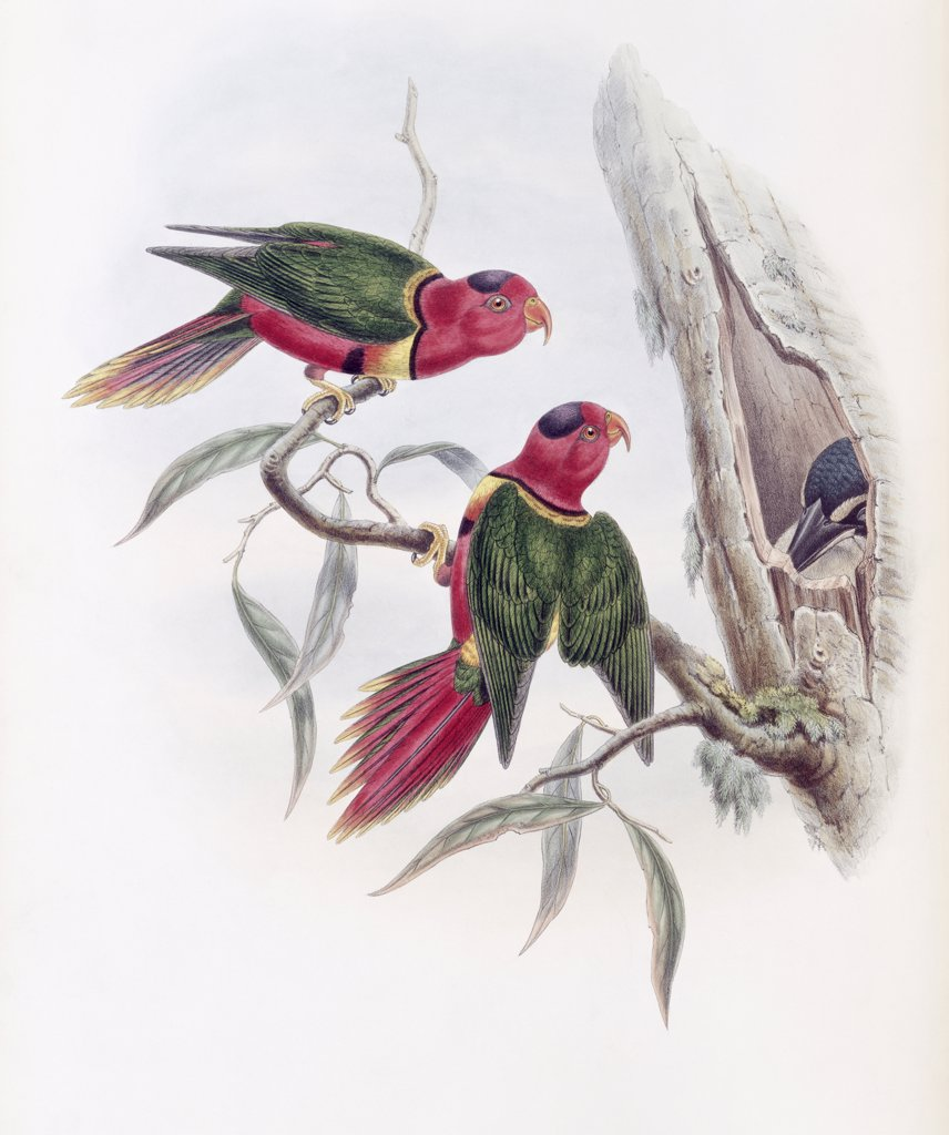 Stock Photo: 900-140767 Duchess Of Connaught's Parakeet John Gould (1804-1881 British)