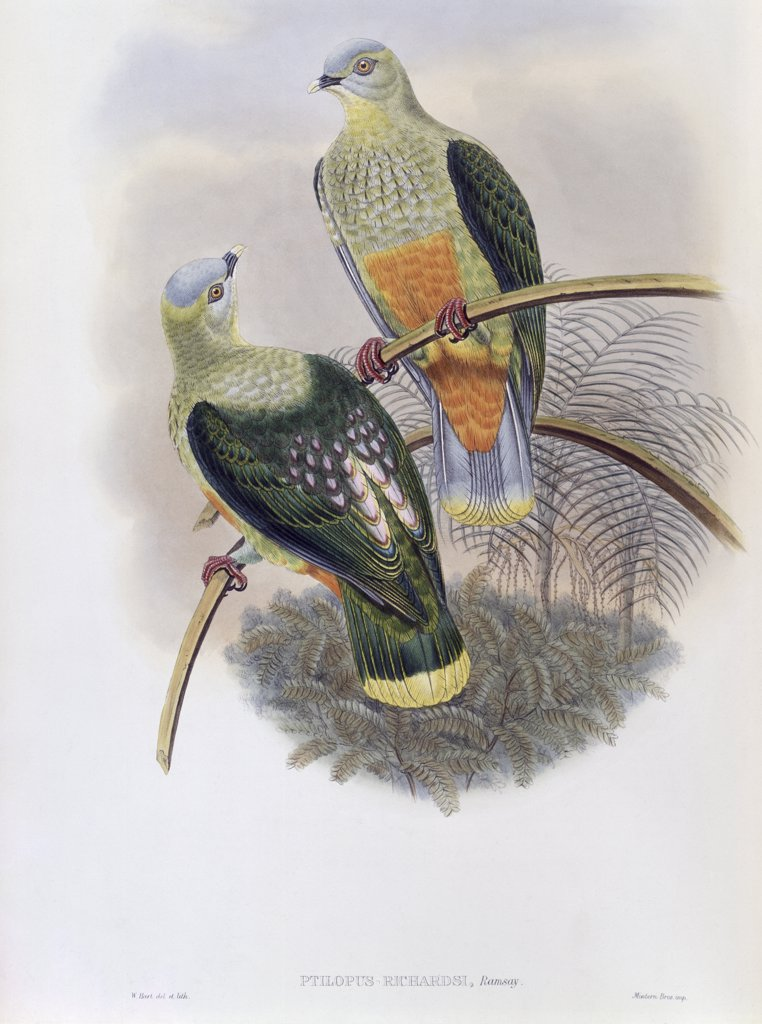 Stock Photo: 900-140768 Richard's Fruit-Pigeon John Gould (1804-1881 British)