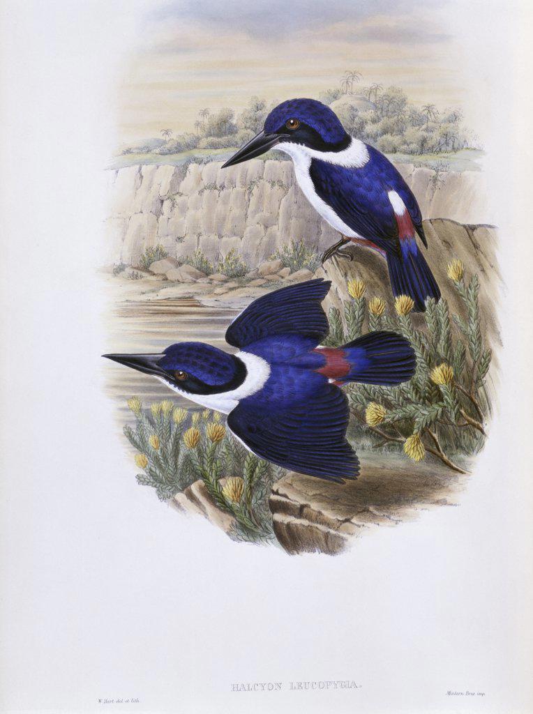 White-backed Kingfisher John Gould (1804-1881 British) : Stock Photo