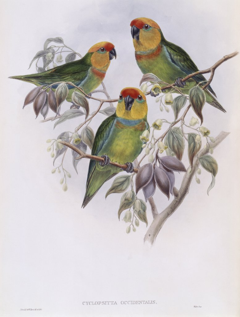 Western Perroquet John Gould (1804-1881 British)  : Stock Photo