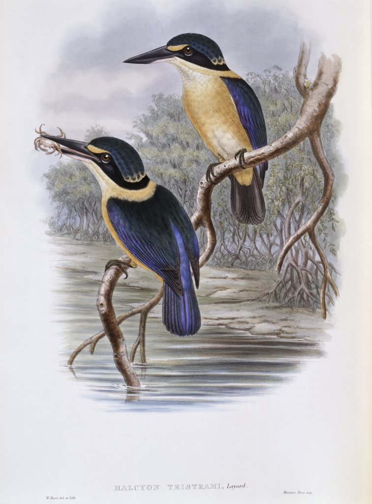 Stock Photo: 900-140773 Tristram's Kingfisher John Gould (1804-1881 British)