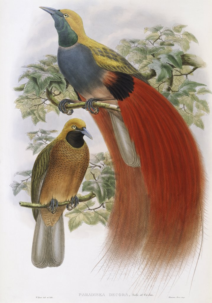 Stock Photo: 900-140774 Grey-chested Bird Of Paradise John Gould (1804-1881 British)