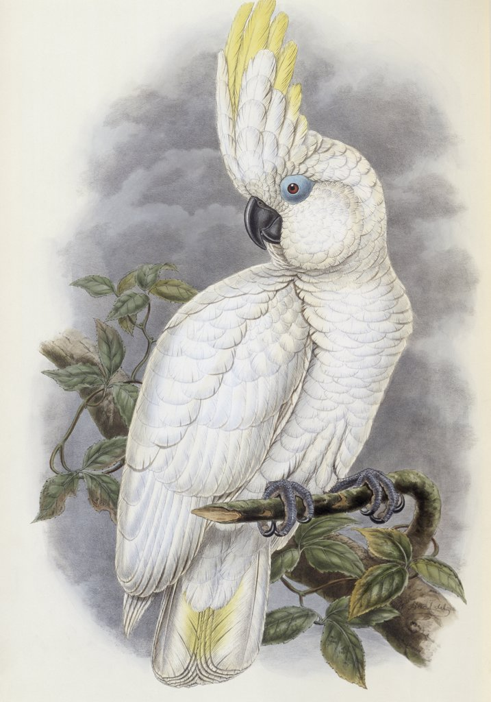 Stock Photo: 900-140775 Blue-Eyed Cockatoo