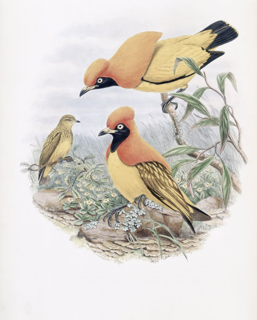 Golden Bird Of Paradise John Gould (1804-1881 British) : Stock Photo