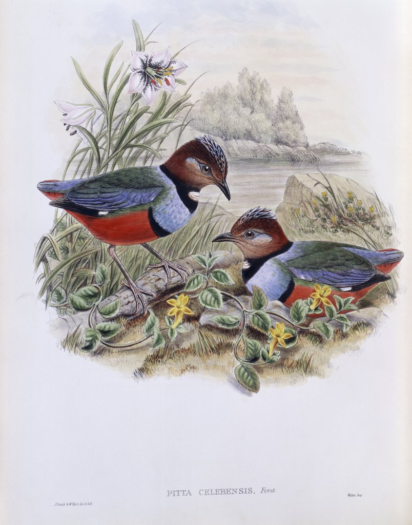 Stock Photo: 900-140777 Celebean Pitta John Gould (1804-1881 British)