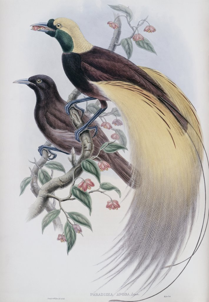 Stock Photo: 900-140779 Greater Bird Of Paradise John Gould (1804-1881 British)