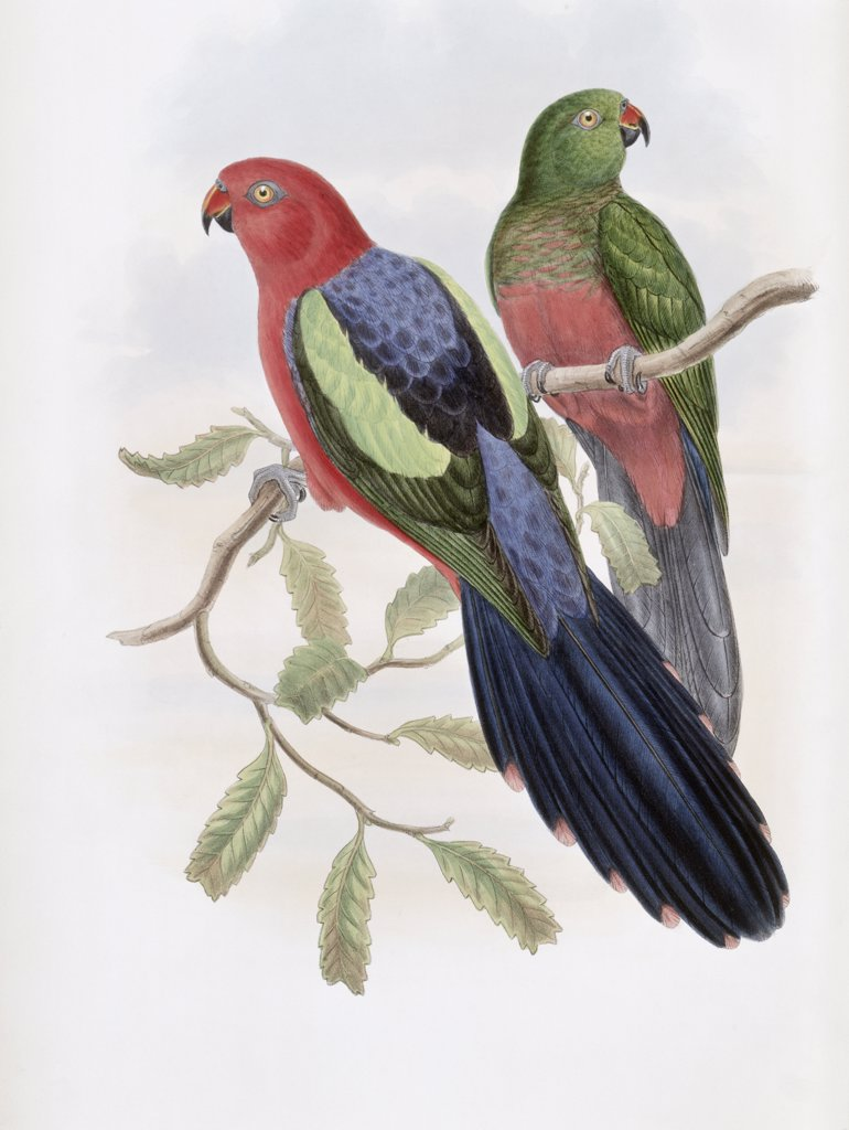 Stock Photo: 900-140780 Yellow-winged King Parrot John Gould (1804-1881 British)