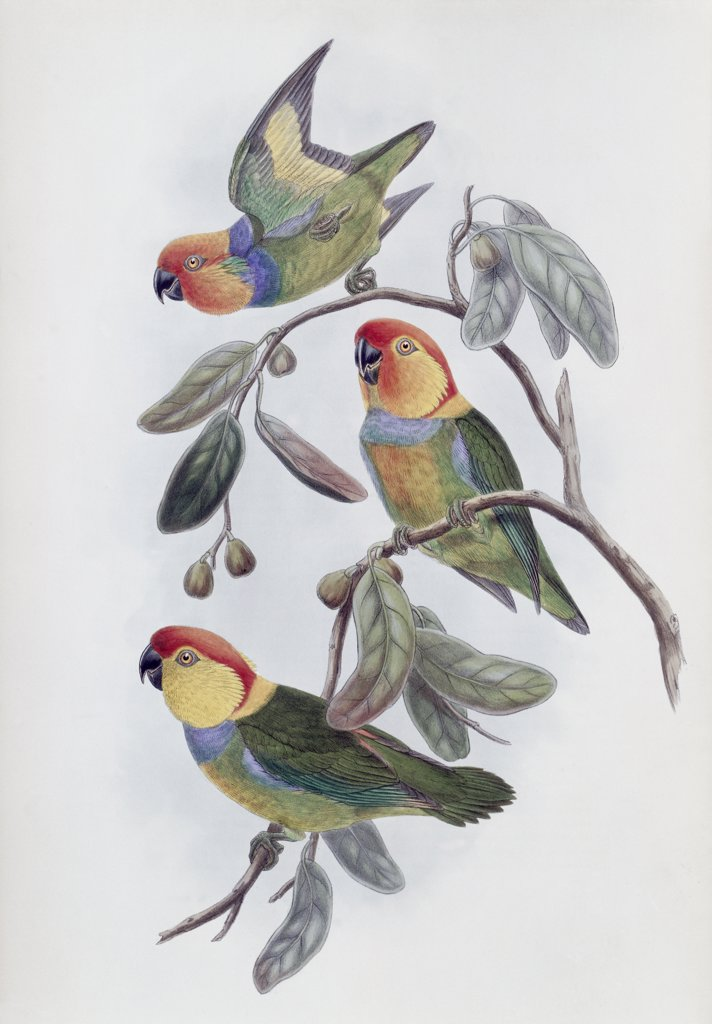 Stock Photo: 900-140781 Southern Ring Perroquet John Gould (1804-1881 British)