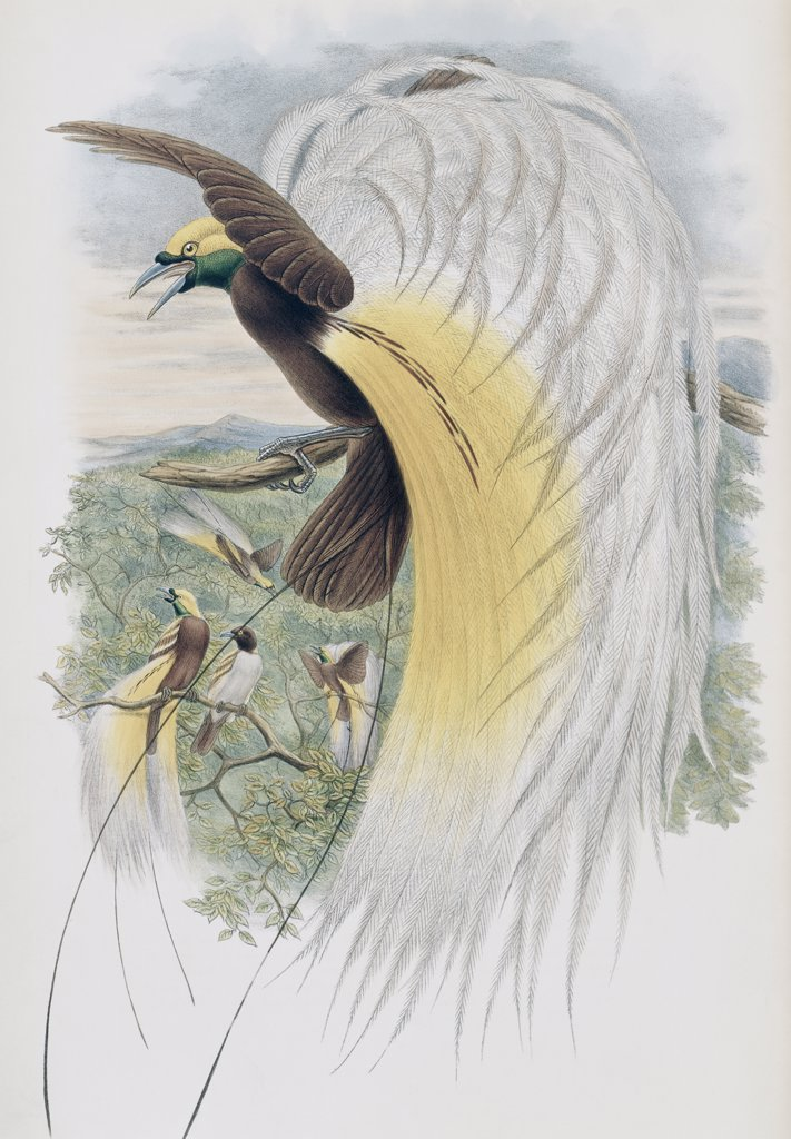 Stock Photo: 900-140782 Papuan Bird Of Paradise John Gould (1804-1881 British)