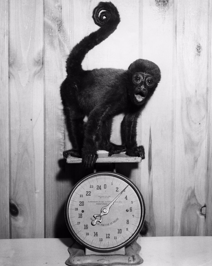 Monkey on weight scales : Stock Photo