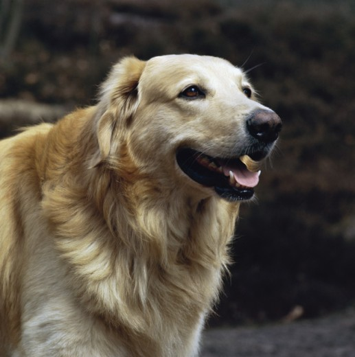 Stock Photo: 926-130215 Golden Retriever
