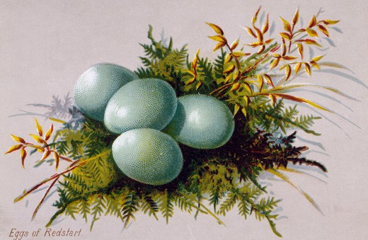 Stock Photo: 980-1341 Eggs of Redstart, Nostalgia Cards
