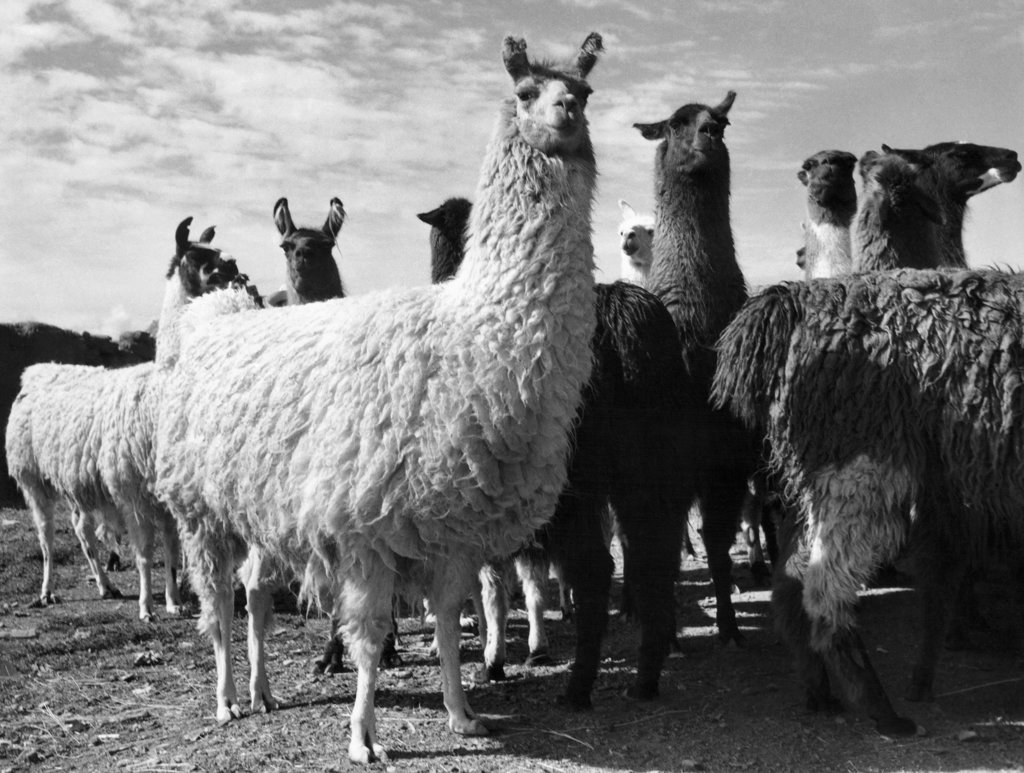 Herd of llamas standing in a field (Lama glama) : Stock Photo