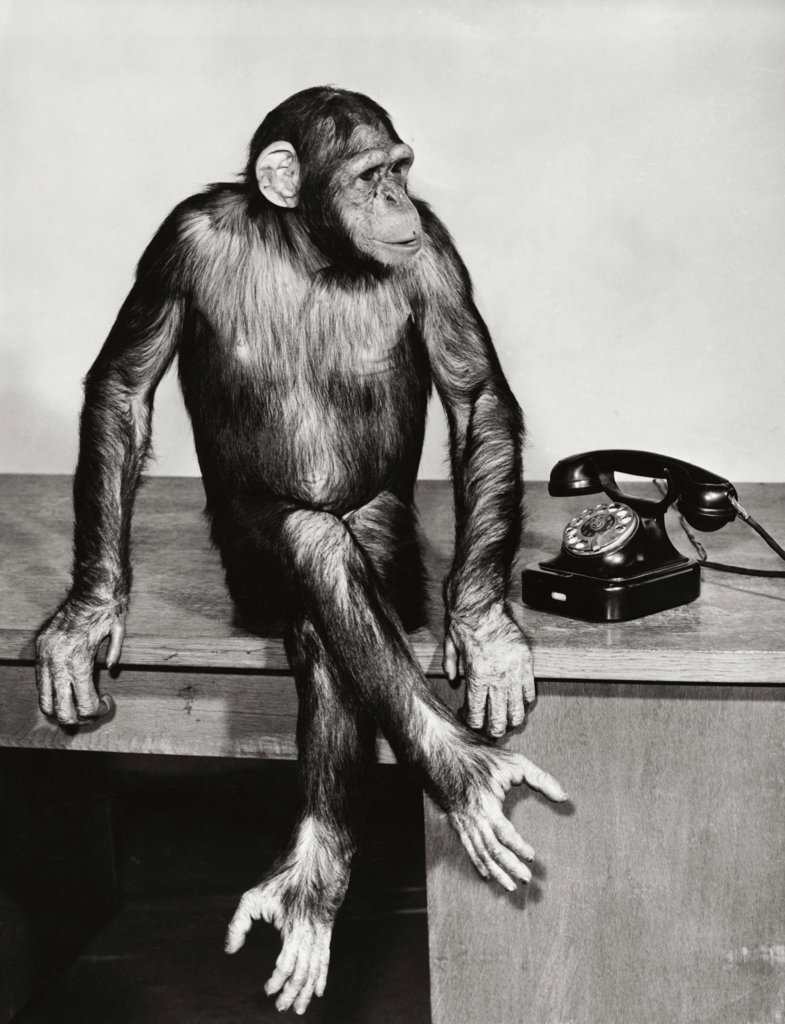 Chimpanzee sitting near a telephone : Stock Photo