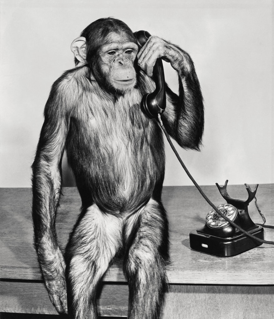 Close-up of a chimpanzee holding a telephone receiver : Stock Photo