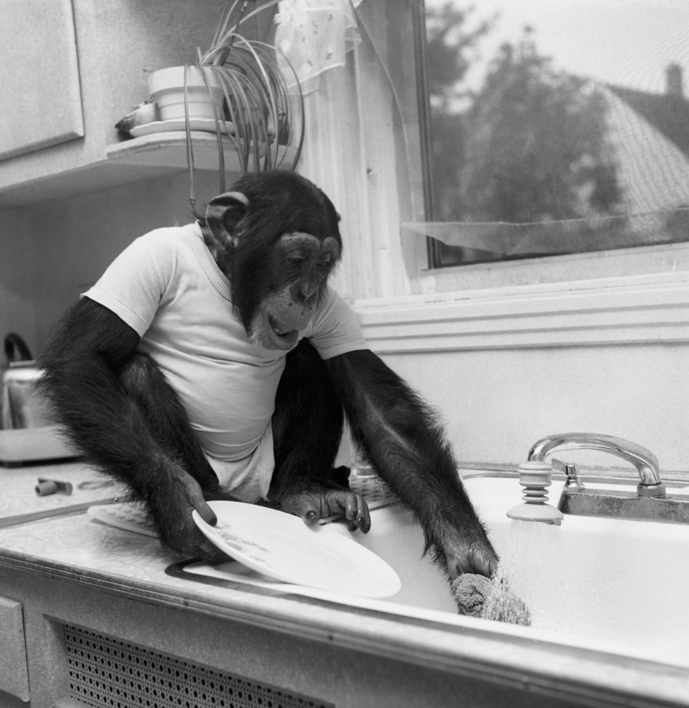 Chimpanzee washing a plate in a kitchen sink : Stock Photo
