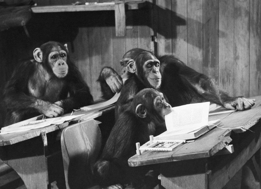 Stock Photo: 990-1564B Four chimpanzees sitting in a classroom